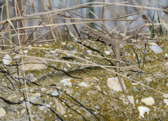 O nouă reptilă în P.N. Văcărești!