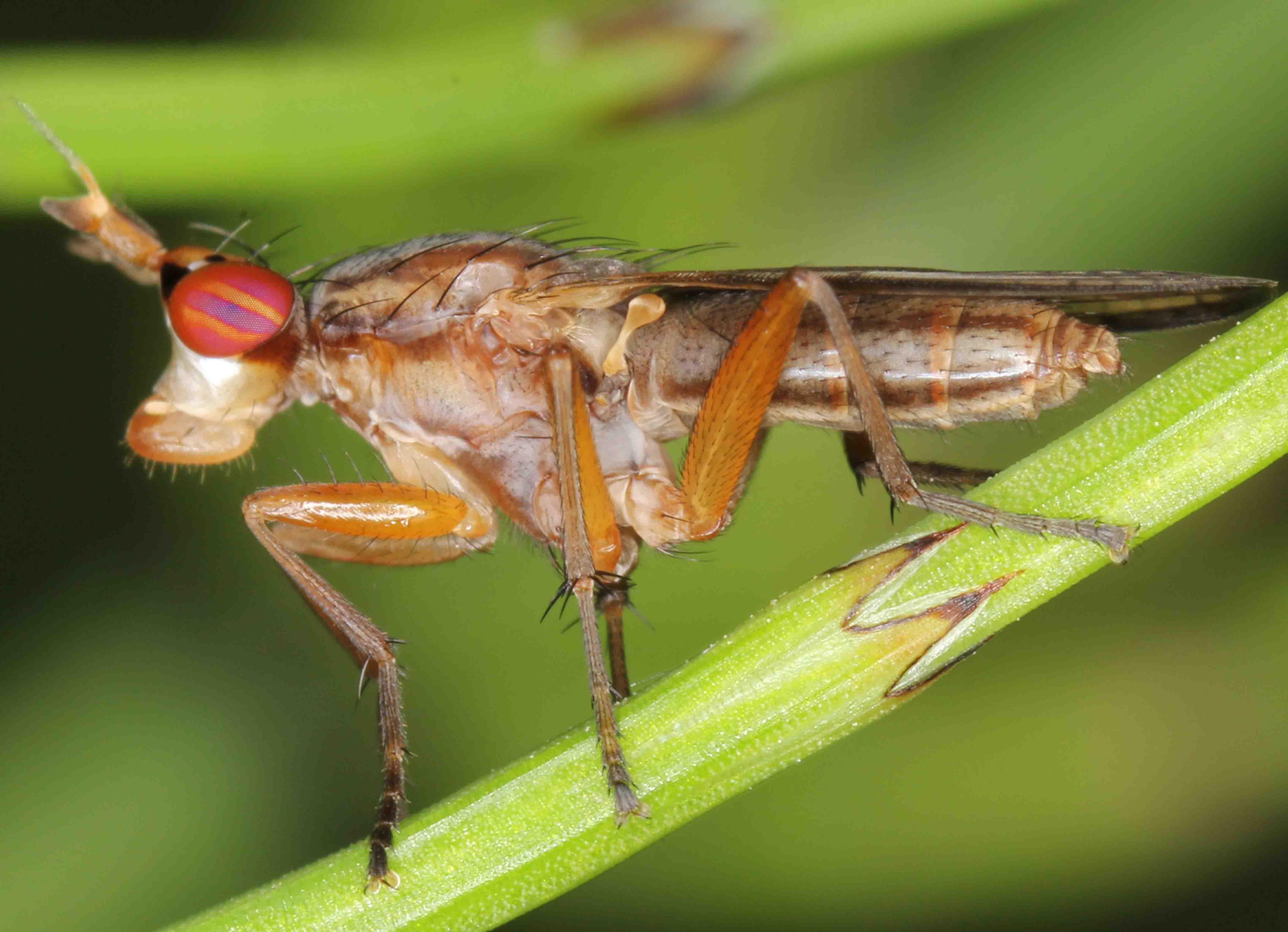 Limnia paludicola