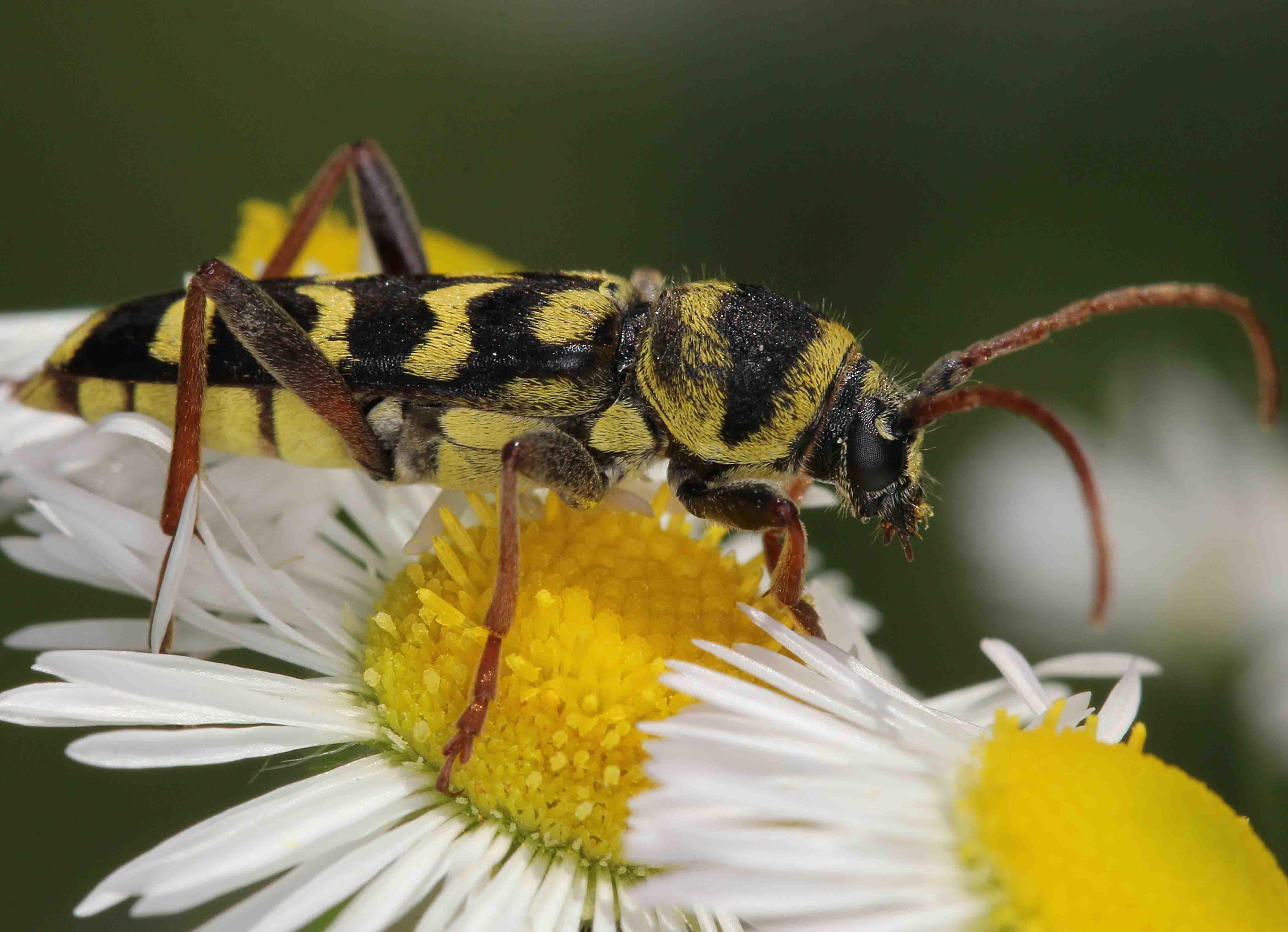 Plagionotus floralis